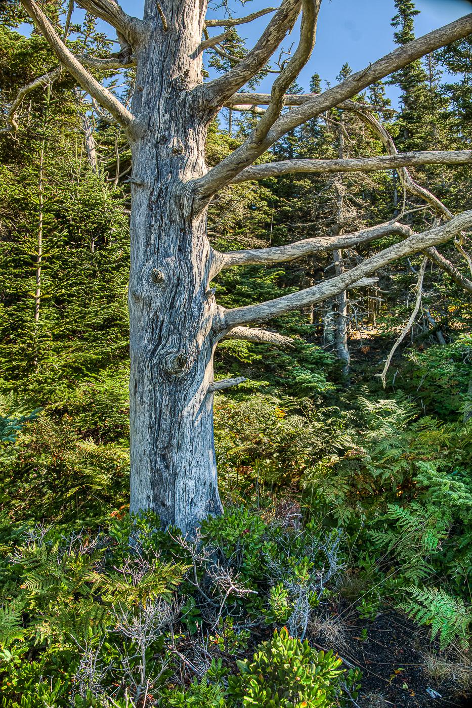7-Dead-Tree-in-Ferns-Schoodic-Point-Maine