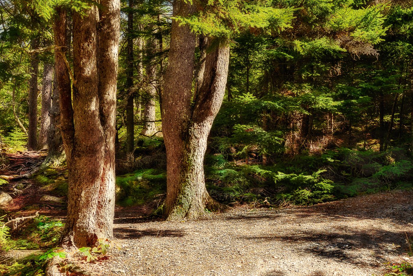 8-Twin-Trees-on-Path-Goulsboro-Maine