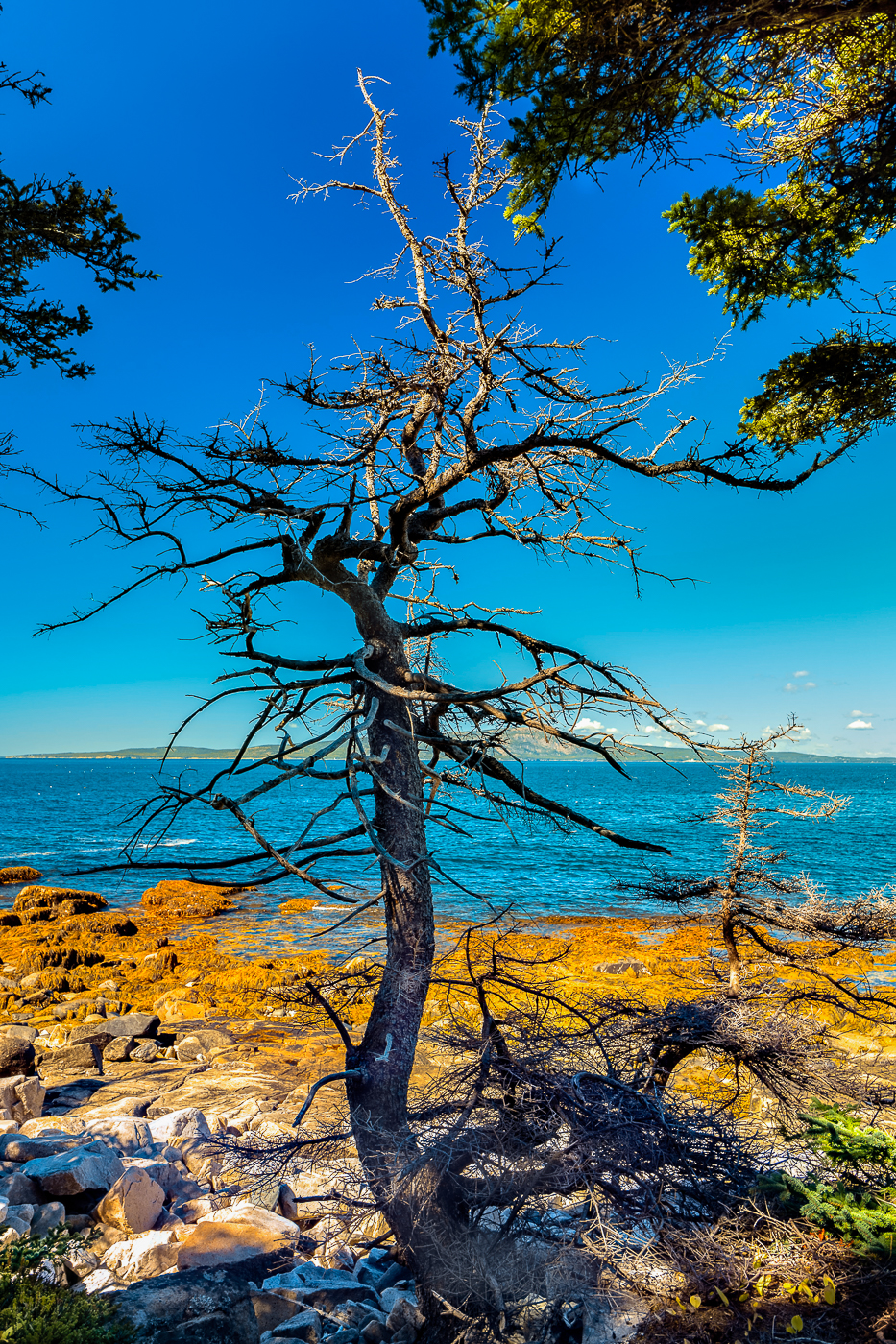 9-Tree-Against-Ocean-and-Sky-Schoodic-Point-Maine