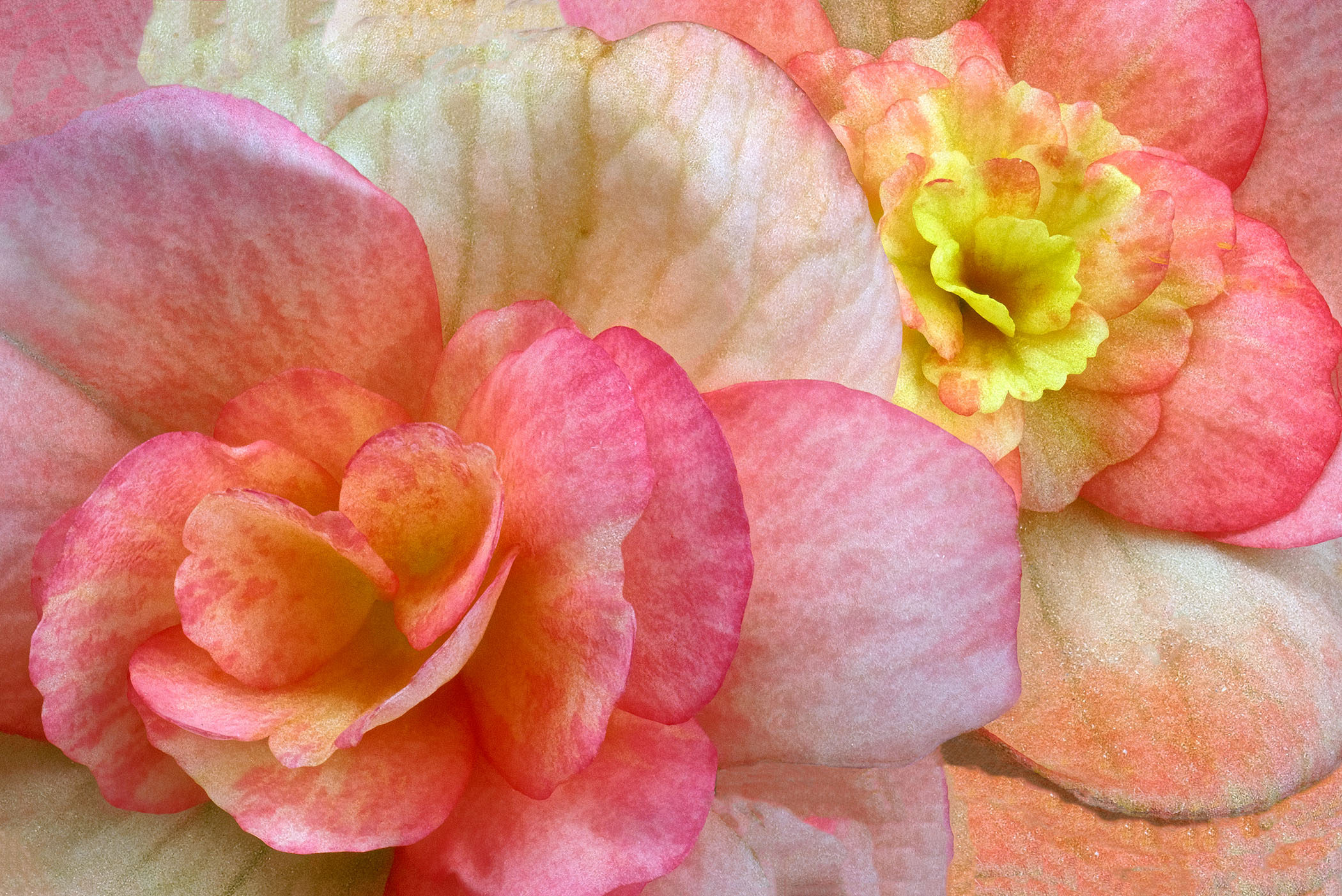 1a-Flowers-Begonias