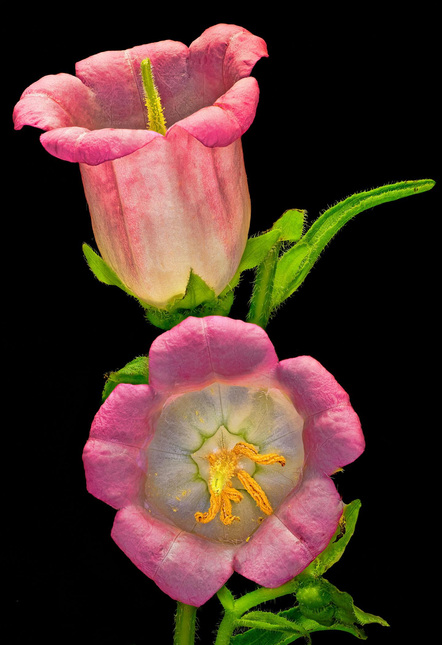 1b-Flowers-Campanula