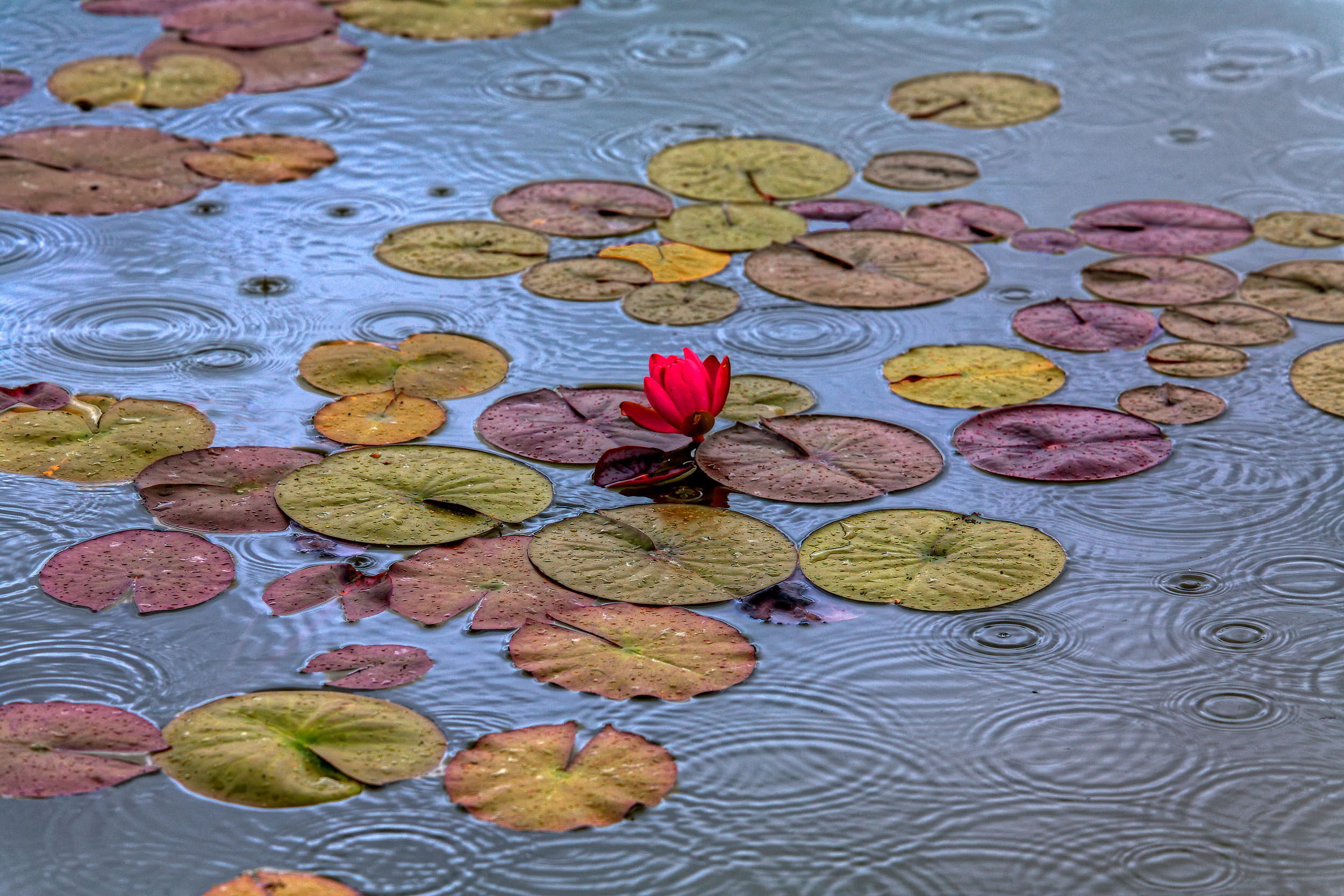 4C-Outdoors-Pommard-Water-Lilies