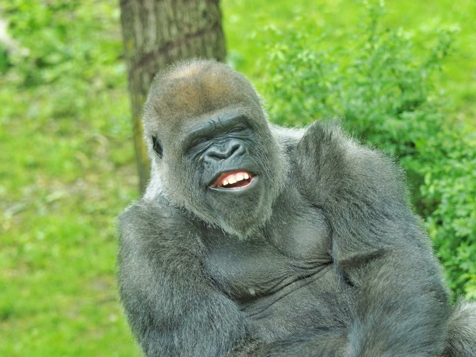 joanne-kennedy-gorilla
