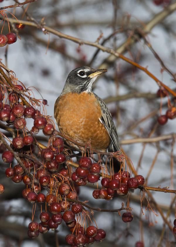 Bird-w-berrys