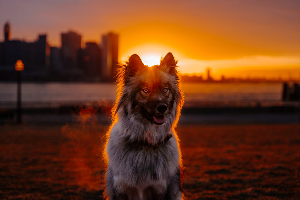 Dog posing in front of city sunset