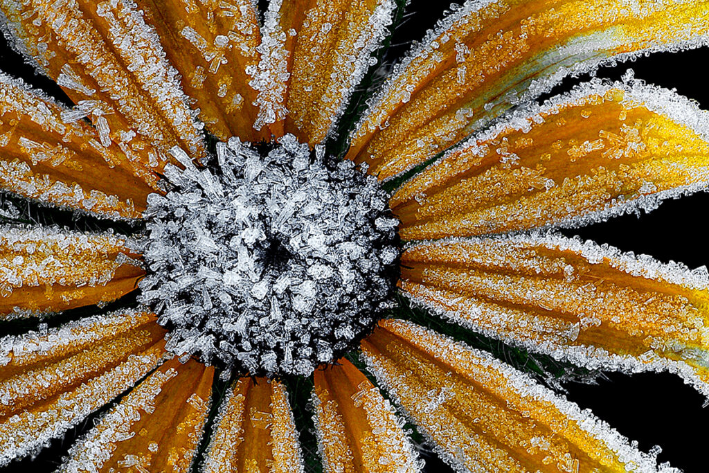 Sunflower with frost